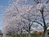 市役所通りの桜並木