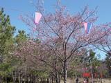 白子の河津桜1