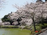 ひめはるの桜1