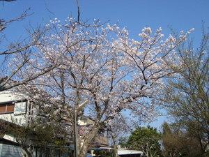前原さんの桜