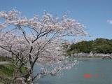 ひめはるの桜2
