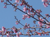 白子の河津桜2