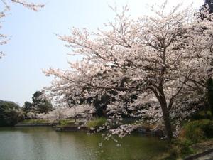 ひめはるの桜3