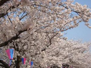 市役所の川沿いの桜