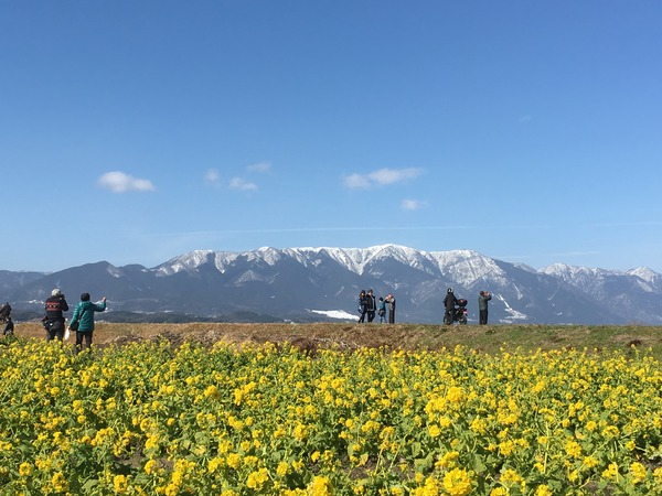 早咲き菜の花(山)