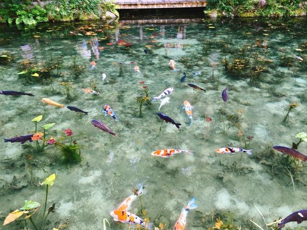 モネの池(鯉泳ぐ)