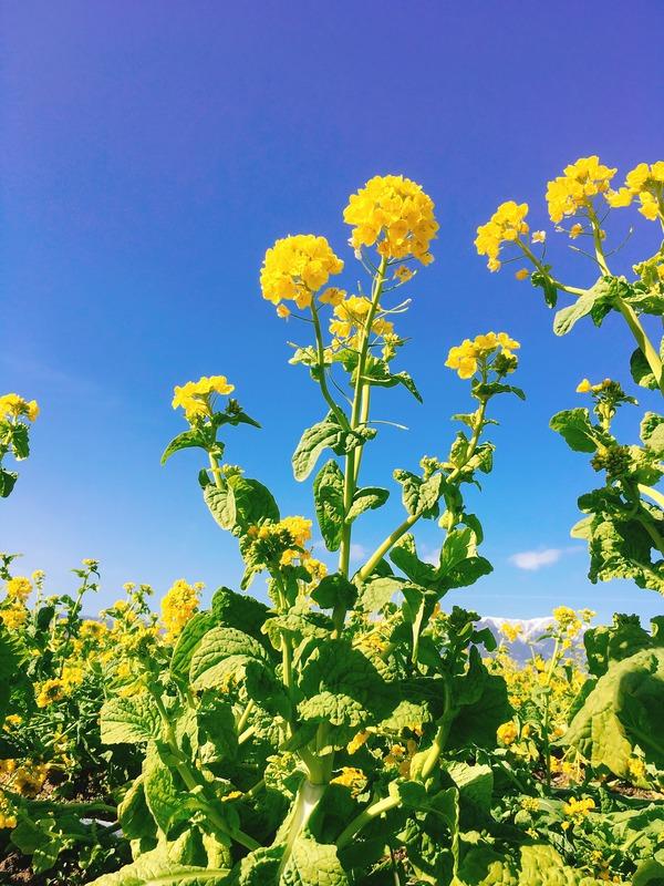 早咲き菜の花(菜の花)