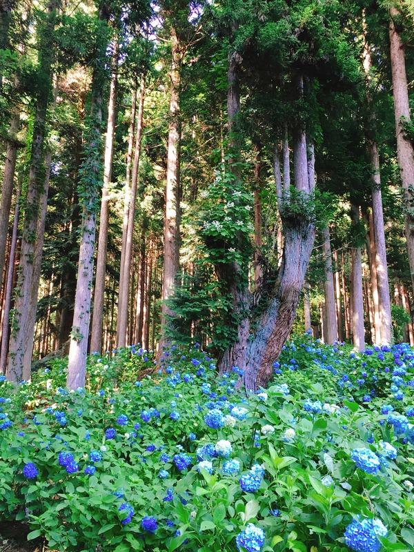 21世紀の森公園のあじさい