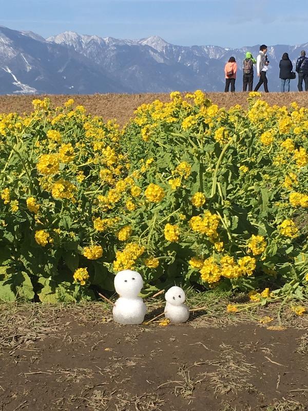 早咲き菜の花(雪だるま)