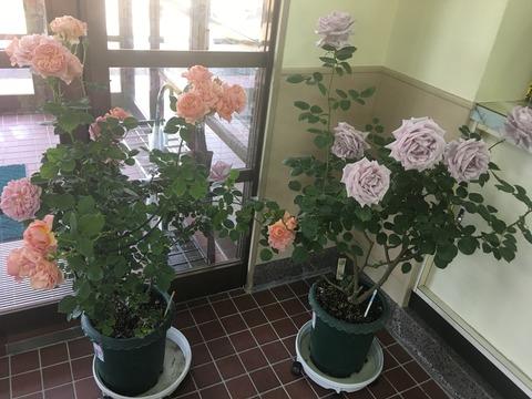 rose 2017-05-11 15 19 38
