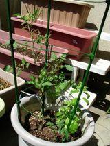 トマト挿し木バジル