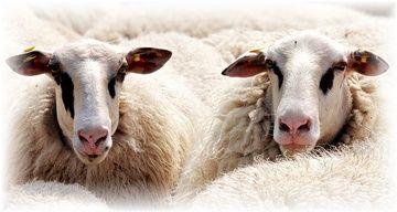 sheep-2292802