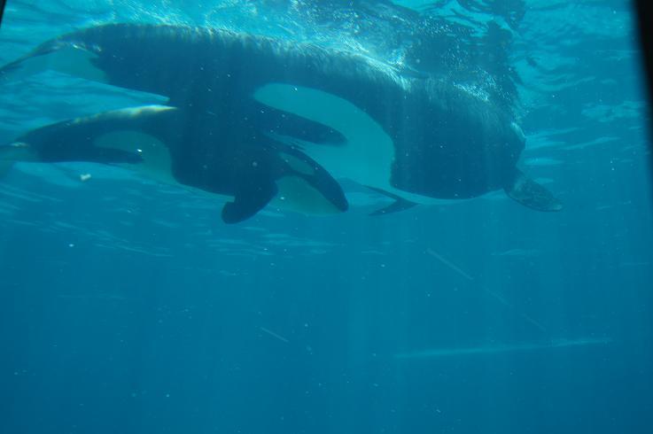 シャチの誕生日、体長、体重 鴨川シー ...