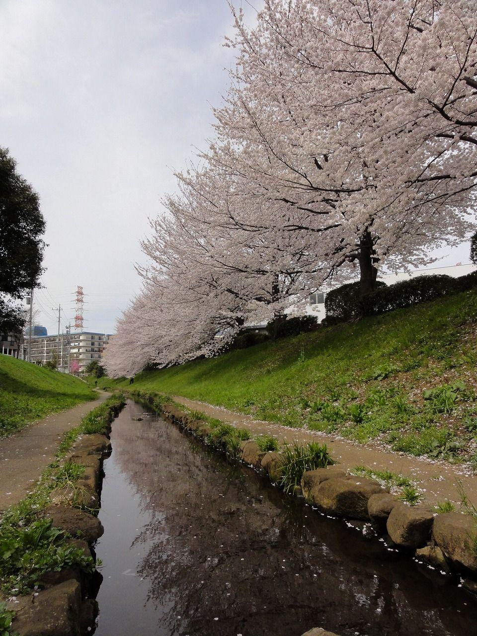 26 Cherry Blossom 1