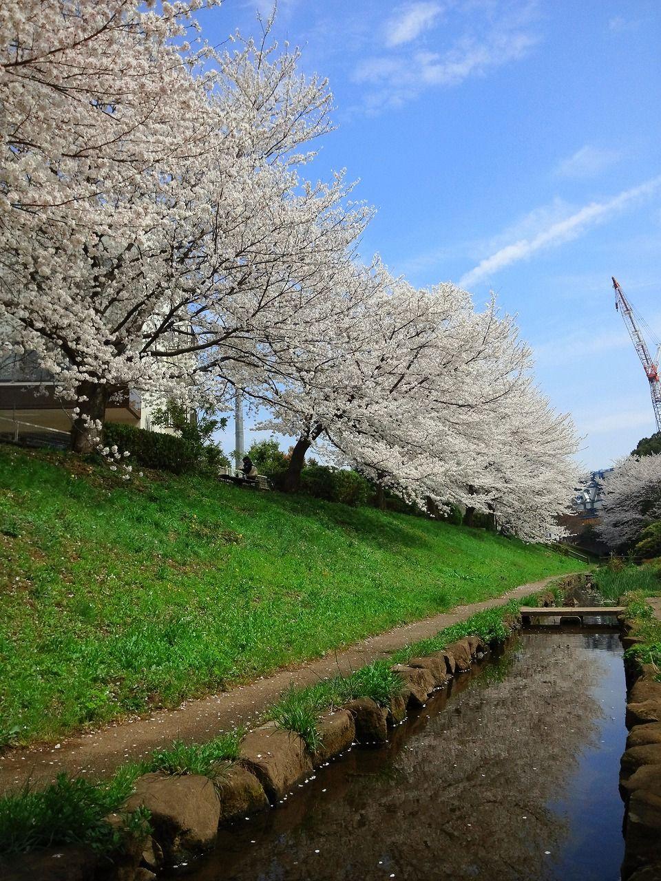 28 Cherry Blossom 4