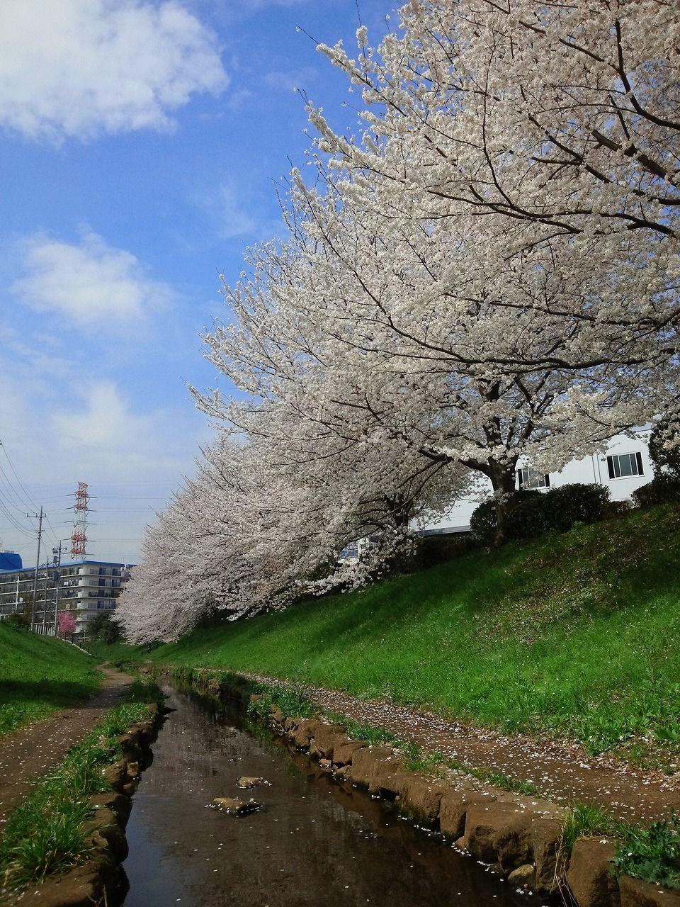 28 Cherry Blossom 1