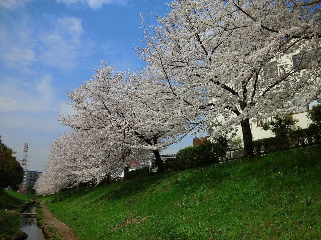 28 Cherry Blossom 3