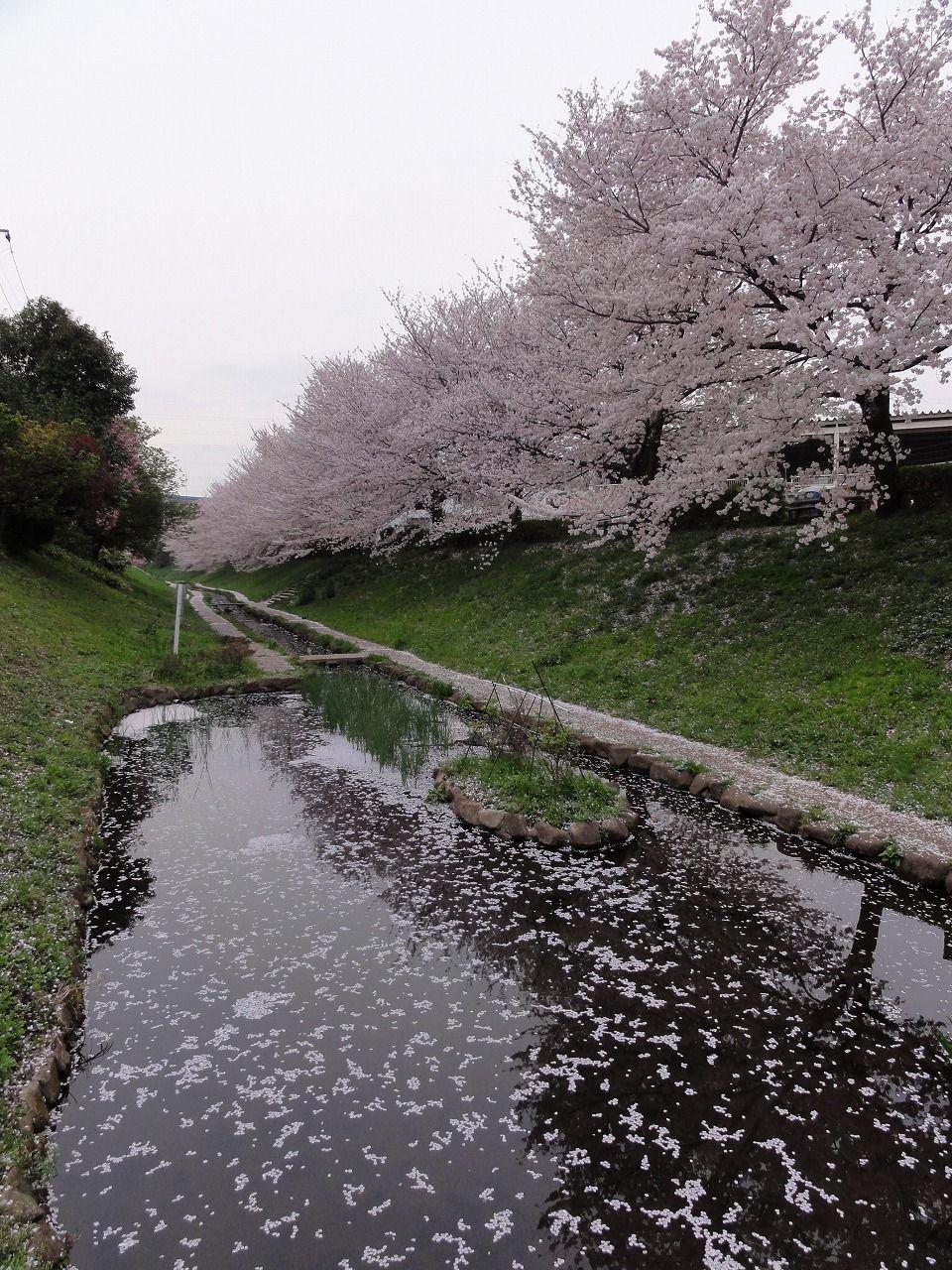 29 Cherry Blossom 4
