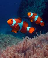 clown anemonefish1