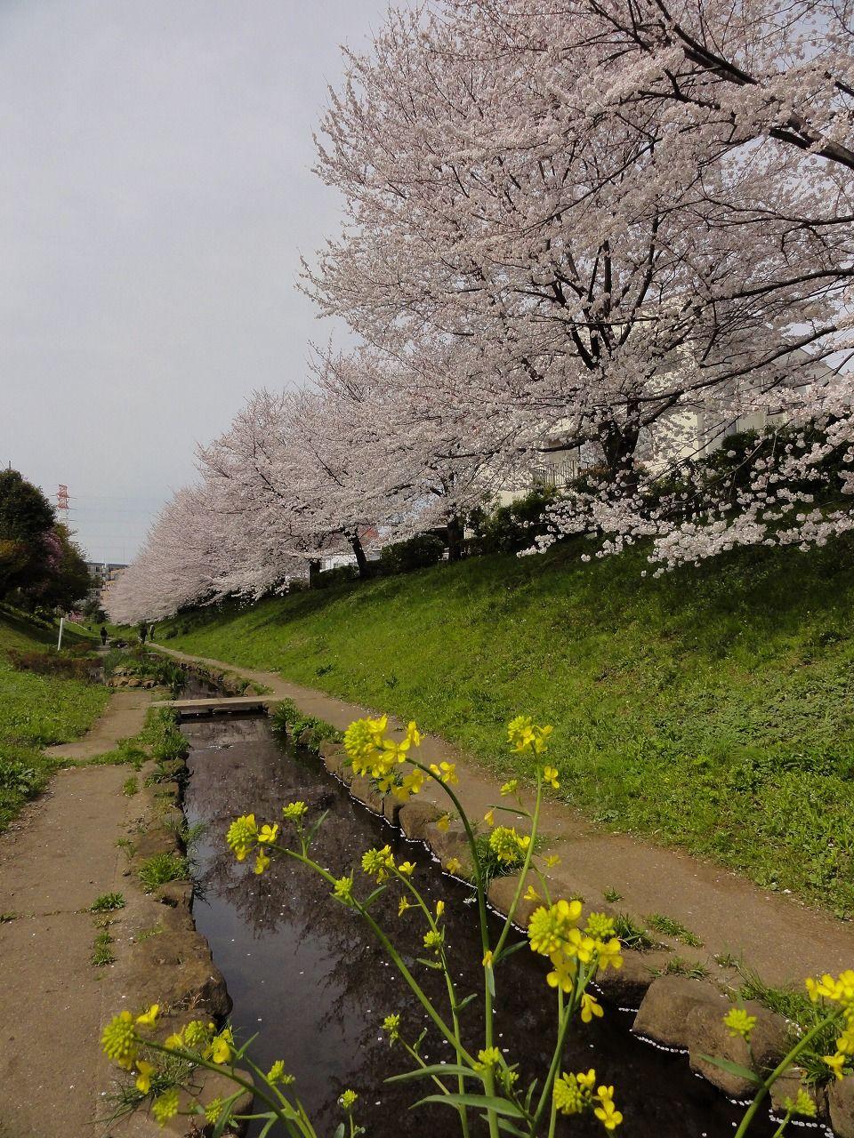 26 Cherry Blossom 6