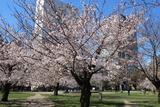 錦糸公園桜2