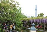 亀戸藤祭り5