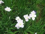 花ショウブ5