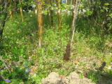 キンメイチク竹の子