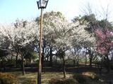 猿江公園梅