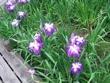 花ショウブ4