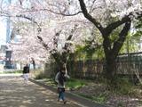 錦糸公園さくら