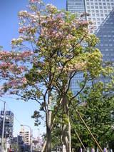 錦糸公園ハナミズキ
