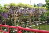 亀戸天神藤祭り2
