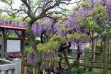 亀戸藤祭り3