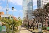 桜祭り錦糸町