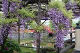 亀戸藤祭り6