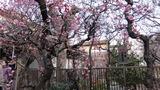 香取神社梅屋敷5