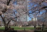 錦糸公園桜3