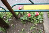 コロナ花2