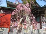 亀戸天神梅祭1