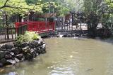 七渡弁天鯉