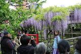亀戸藤祭り4