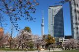 錦糸公園桜4