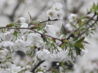 4月:桜観賞(?)