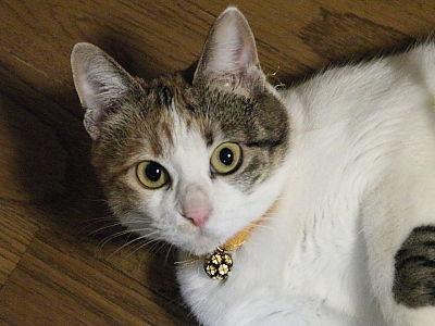 猫ブログ_みけ