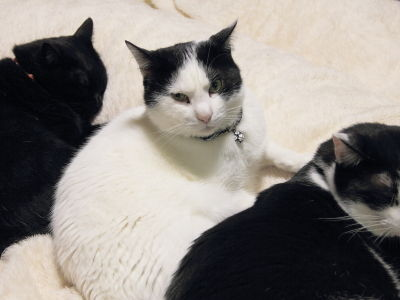 白黒はちわれ猫の「ハル」