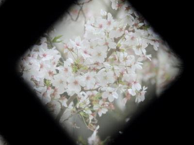 7桜_ラティス