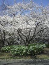 今年の桜2011
