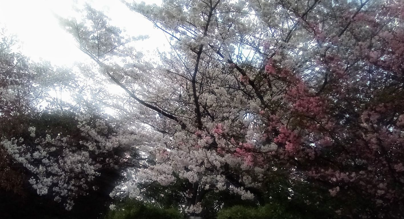 桜と花海棠