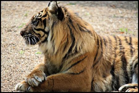 sarah_tiger_small